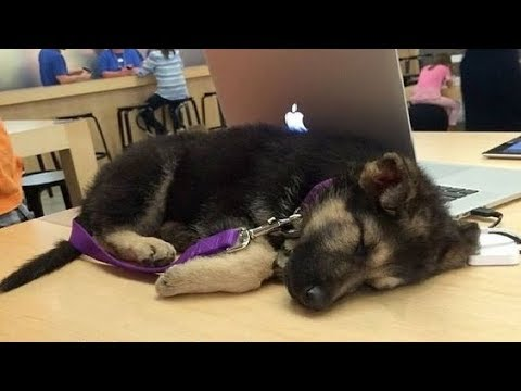 Funniest & Cutest German Shepherd Puppies #26 – Funny Dogs Compilation 2018