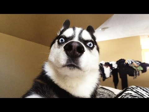 Fluff Challenge with Dog –  Funny Dogs Reaction to Disappear Game of Owner COmpilation