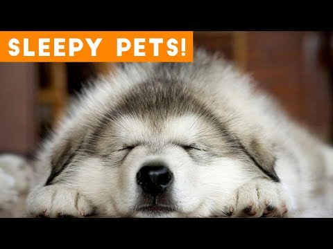 Cutest Sleepy Pet and Animal Videos of 2018 | Funny Pet Videos