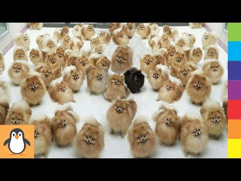 4 Pomeranian Lovers 🔥 Funny and Cute Pomeranian Dogs Videos Compilation