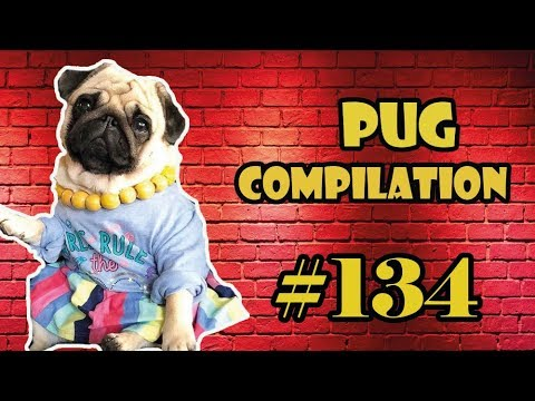 NEW ! Pug Compilation 134 – Funny Dogs but only Pug Videos | Instapug