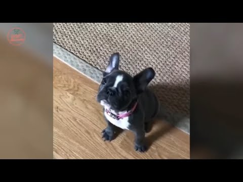 Funny And Cute French Bulldog | French bulldog Puppies | Funny dog videos try not to laugh #9