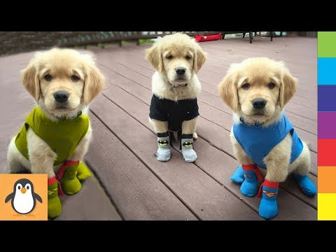 Cutest Retriever Puppies 🔥 Funny and Cute Retriever Dogs Videos Compilation
