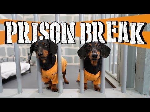 Ep 8: WIENER DOG PRISON BREAK – Funny Dogs Escaping Jail!