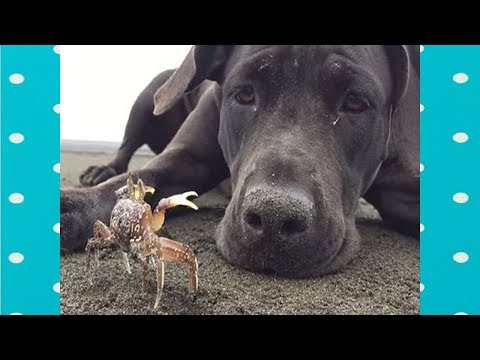 FUNNY DOGS PLAY WITH CRABS COMPILATION||FUNNY DOGS VIDEO