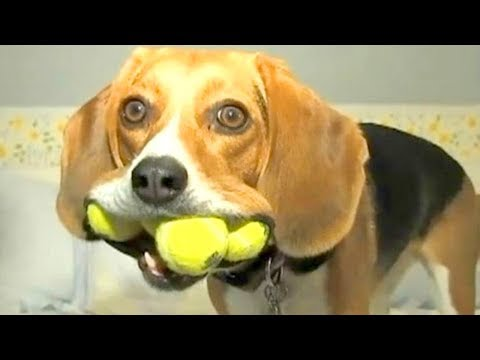 Try Not To Laugh Funny Stupid Dogs Videos Compilation 2018