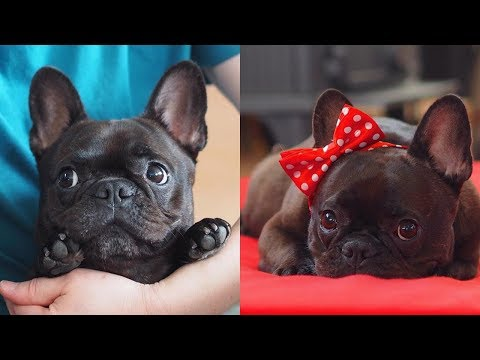 Funny and Cute French Bulldog compilation 2018 | Funny dog videos try not to laugh #47 | フレンチブルドッグ