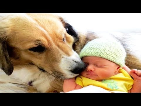 Cute Dog Babysitting Dog Love Baby – Funny Dogs Video