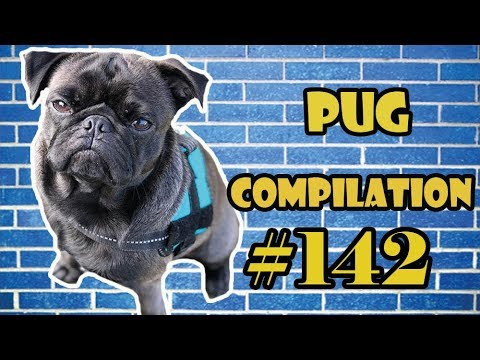 Pug Compilation 142 – Funny Dogs but only Pug Videos | Instapug