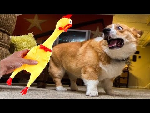 Funny Dog vs Shrilling Chicken Compilation 🤣 –  🐕 vs 🐥