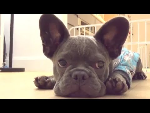 Funny and Cute French Bulldog compilation 2018 | Funny dog videos try not to laugh #41