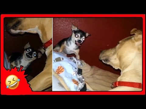 Funny Cute Brawler Dogs 😜🐶 Animal Kingdom, Popular Trend Funniest Videos