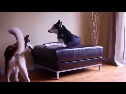 Two talking Huskies argue like human siblings would! – Funny Dog Videos