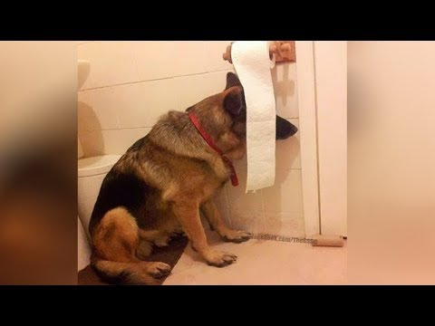 This is why  GERMAN SHEPHERDS are the FUNNIEST  DOGS –  Funny DOG  compilation