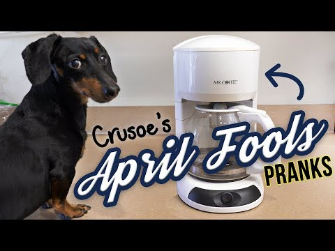 Funny Dachshund Crusoe is the APRIL FOOLS DOG!