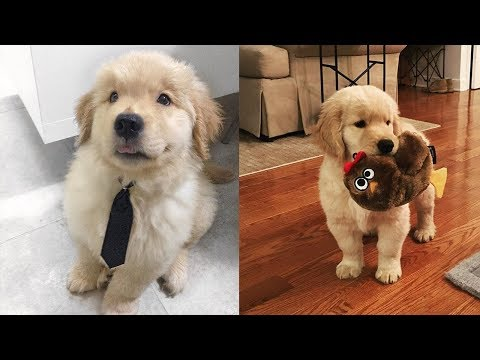 Funny And Cute Golden Retriever Puppies Compilation #2 | Cute dog videos