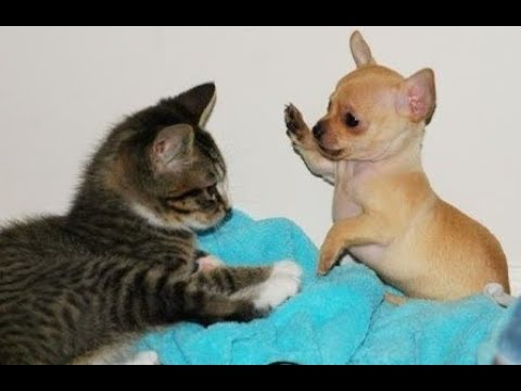 Funny dog and cats videos –  Try not to laugh dog annoying Cat compilation
