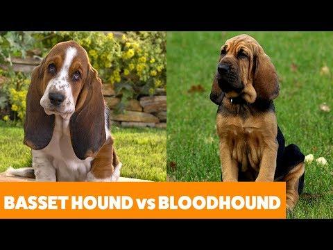 Basset Hound vs Bloodhound – Dog Guide | Funny Pet Videos