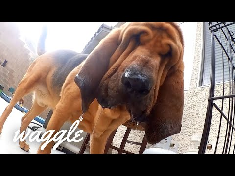 Howling Hounds | Funny Dog Videos
