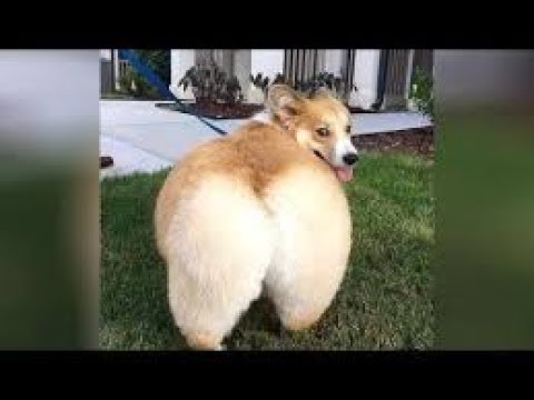 Funny And Cute Dogs Videos compilation – Try Not To Laugh 2019