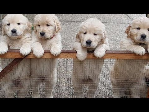 Cutest Baby Dogs In The World – Cute And Funny Dog Videos Compilation | Puppies TV