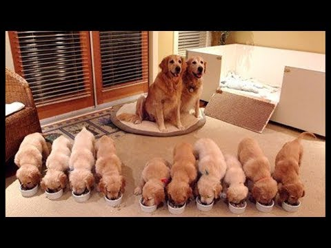 Funny And Cute Golden Retriever Puppies Compilation #48 – Cutest Golden Retriever Puppies