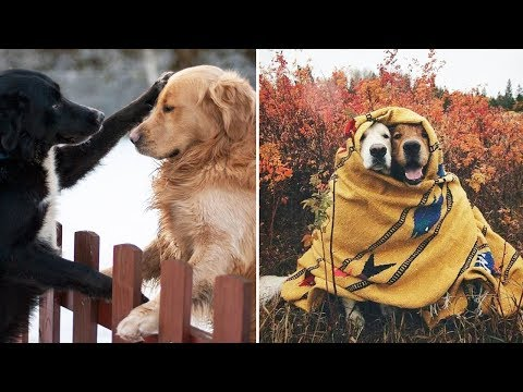 Funny And Cute Golden Retriever Puppies Compilation #3 – The Most Funny Dogs