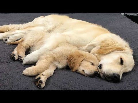 Funniest & Cutest Golden Retriever Puppies #33 – Funny Puppy Videos 2019