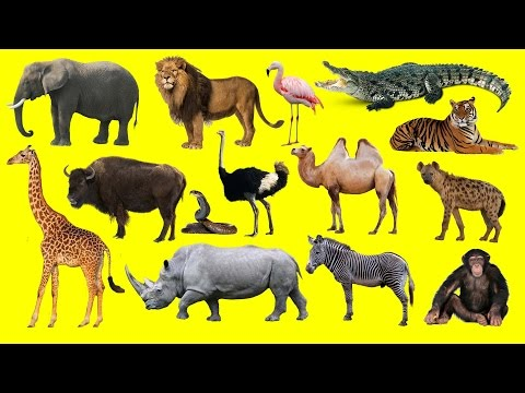 Learning Wild Animals Names and Sounds for kids in English | Funny Lion Elephant Africa Zoo animals