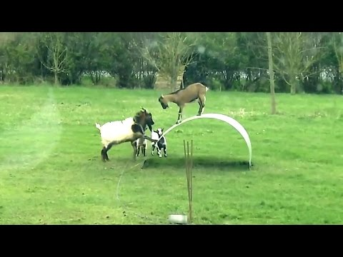 Goats for Kids – More Funny Goats Playing – Goat Videos Compilation