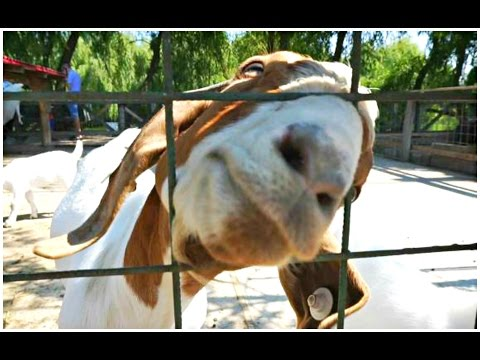 Outside Fun at Animals Farm – Funny Goat – Say Cheese David