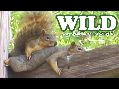 Two Cute Squirrels In The Wild – Weird Strange Funny Wildlife Animals [Short Version Video] Jazevox