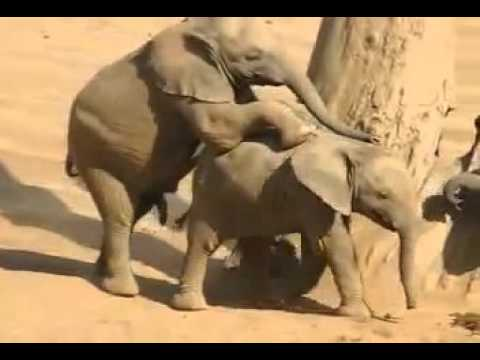 Baby Elephant Gone Wild | Mating Fails | Funny Animals