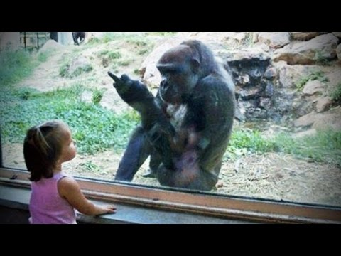 GORILLAS PRANKING HUMANS (HD) [Funny Pets]
