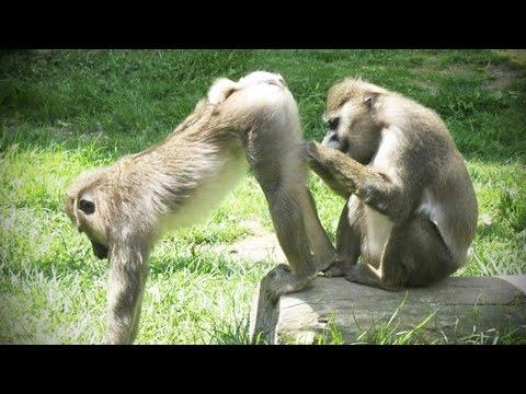 Playing Monkeys ? Funny Baby Monkeys [Funny Pets]