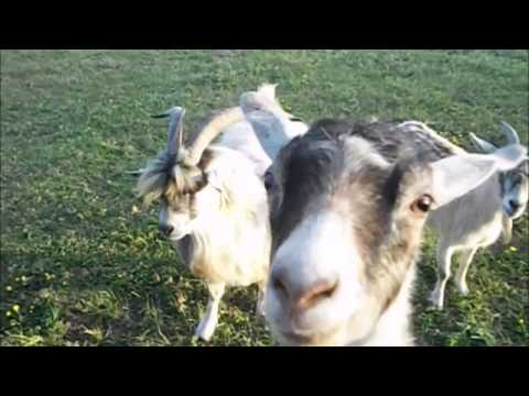 Funny Farm Animals Compilation – Prepare to laugh!