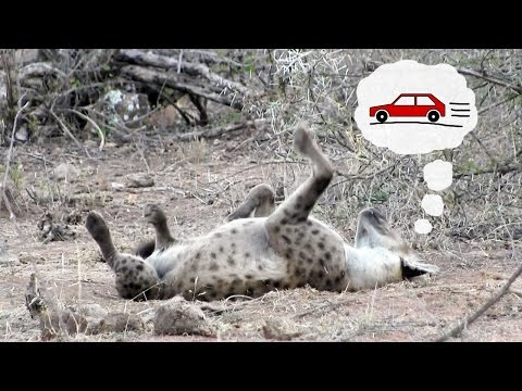 Sleeping hyena chasing cars | Funny wild animal behavior from Kruger National Park, South Africa