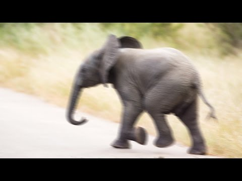 Adorable elephant throws tree branch around – Funny wild baby animals | Pilanesberg, South Africa