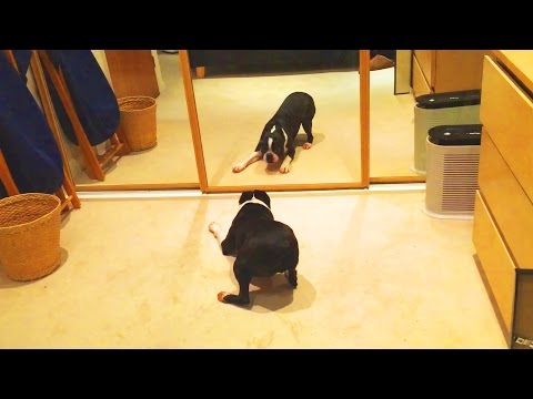 DOGS VS MIRRORS [Funny Pets]