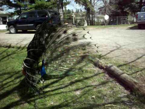 peacock. FUNNY FARM ANIMALS