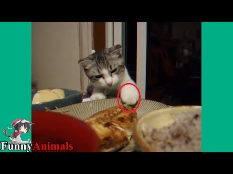 The Funniest and Most Humorous Cat Trying to Steal Fish – Funny Cats compilation