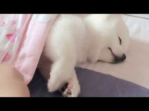 The dog also kicks the quilt when he sleeps – Funny animal videos 2017