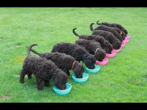 Best Of Funniest And Cutest Poodle Videos 2017 – Funny Dogs Compilation |Funny Animals