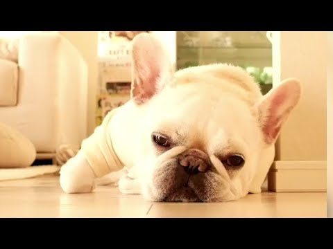 Funniest & Cutest French Bulldog puppies Videos Compilation 2018 | Funny DOG vines compilation #372