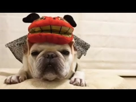 Funniest & Cutest French Bulldog puppies Videos Compilation 2018 | Funny DOG vines compilation #374