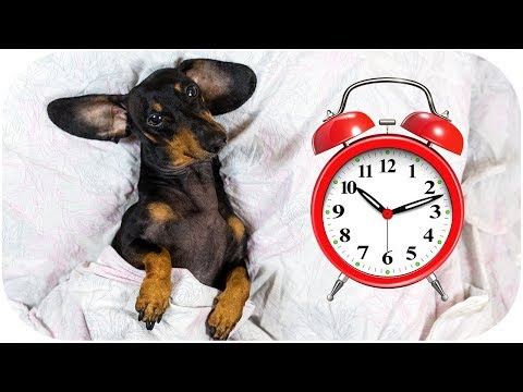 Just 5 minutes more! Funny dachshund dog video!