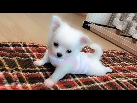 Dog Love 🔴 Cute and Funny Dog Videos Compilation (2018) Perros Adorables Video Recopilación
