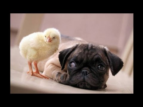 Funniest and Cutest Pug Dog Video Compilation #18