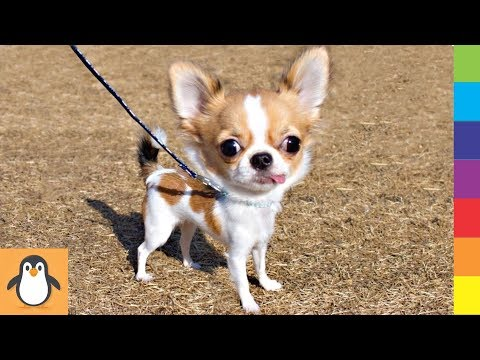 Cutest Chihuahua Puppies 🔥 Funny and Cute Chihuahua Dogs Videos Compilation