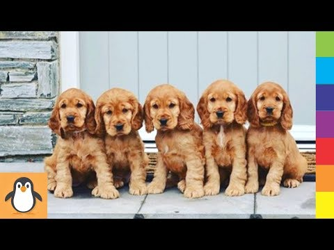 Cutest Spaniel Puppies 🔥 Funny and Cute Cocker Spaniel Dogs Videos Compilation